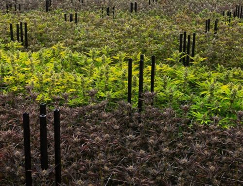 Grow & Prove: How Producers Set the Bar Higher With Terpene Data
